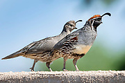 A male Gambel's quail, right and a juvenile Gambel's quail