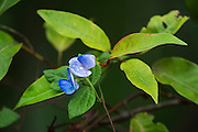 Rain forest flower<br /> Odzala - Kokoua National Park<br /> Republic of Congo (Congo - Brazzaville)<br /> AFRICA