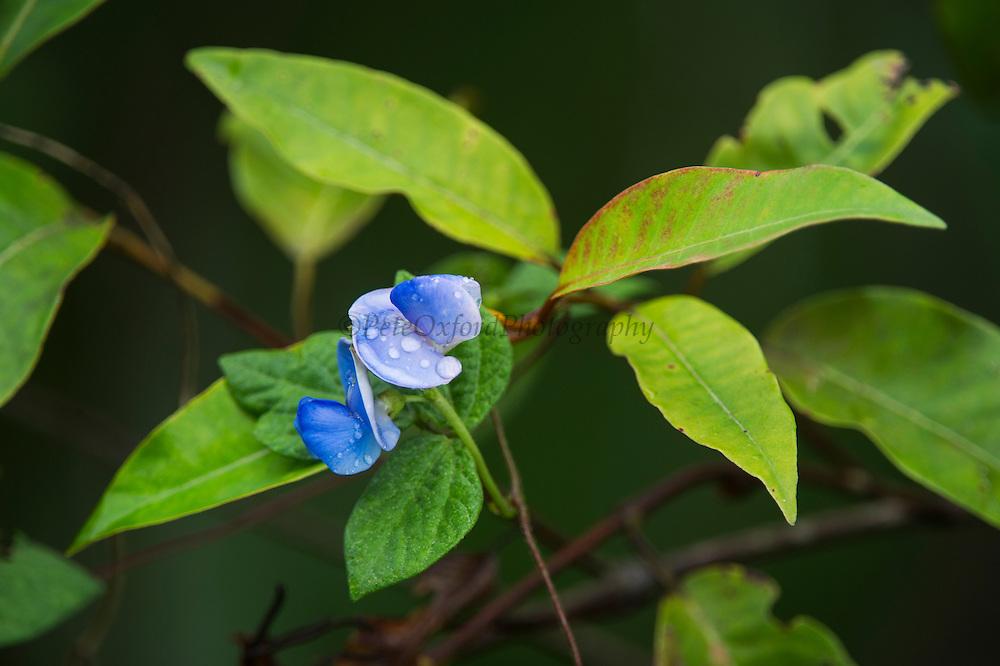 Rain forest flower<br /> Odzala - Kokoua National Park<br /> Republic of Congo (Congo - Brazzaville)<br /> AFRICA