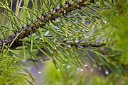 Fairy Falls - middle geyser area. Water droplets on a tree's needles on a trail in Yellowstone Naional Park.