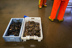 © Licensed to London News Pictures. 03/04/2014<br /> <br /> Whitby, North Yorkshire, United Kingdom<br /> <br /> Fishermen check the weight of their catch of lobsters and crab at Whitby, North Yorkshire. <br /> <br /> Photo credit : Ian Forsyth/LNP