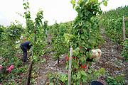 Duitsland, Winningen, 28-9-2020 Mensen aan het werk in een wijngaard langs de moezel. Er wordt in het Moezeldal volop geoogst in deze tijd van het jaar . Door de droogte valt de oogst steeds vroeger. Foto: ANP/ Hollandse Hoogte/ Flip Franseen