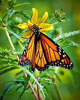 Monarch Butterfly on a Bearded Beggertick Flower. Image taken with a Fuji X-T1 camera and 100-400 mm OIS lens (ISO 200, 400 mm, f/7.1, 1/42 sec).