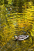 A juvenile male Mallard Duck (Anas platyrhynchos) fills a pond with golden ripples as he swims across reflections of autumn leaves.