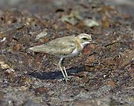 Greater Sandplover - Charadrius leschenaultii