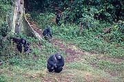 A few of the 48 chimpanzees in the Ngamba Island Chimpanzee Sanctuary in Lake Victoria, Uganda.  03/15 Julia Cumes/IFAW