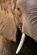 Close-up portrait of an African elephant, Loxodonta africana, Khwai concession, Okavango delta, Botswana.