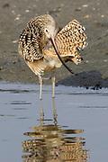 Long-billed Curlew grooming.(Numenius americanus).Back Bay Reserve, California