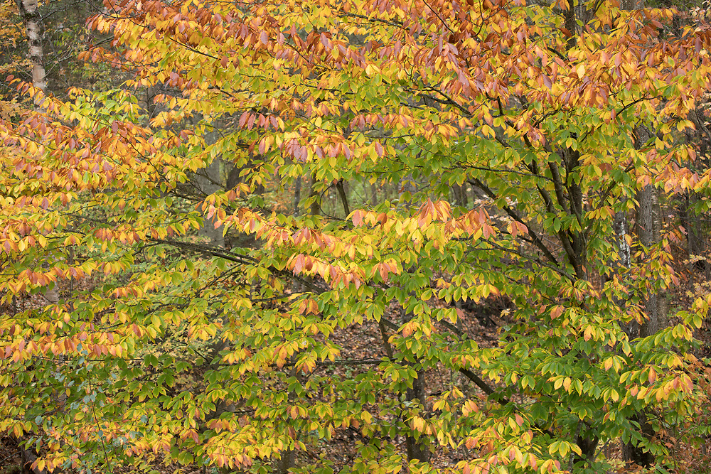 The Fall foliage colours of Maple tree near Woodstock in Vermont, New England, USA
