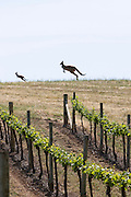 Mother and baby Kangaroo in the Vineyard,Penfolds Wines,The Barossa Valley is one of Australia's oldest wine regions. Located in South Australia, the Barossa Valley is about 56 km northeast of the city of Adelaide.