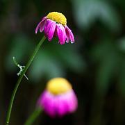Two wilting purple flowers. Photo by Adel B. Korkor.