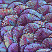 Macro view, intricately patterned back feathers of blue-green male peacock.