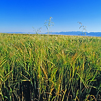 Wheat grows in the Gallatin Valley near Bozeman.