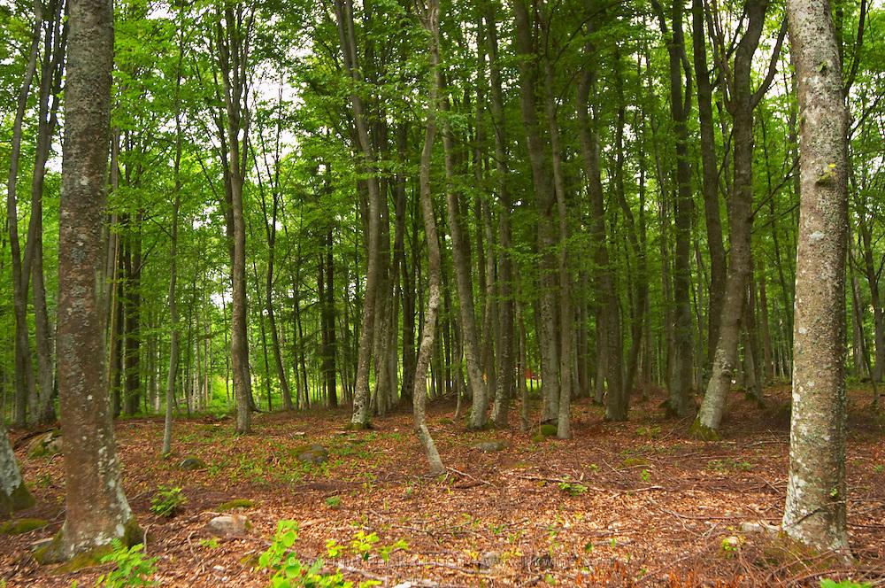 Beech tree forest. Smaland region. Sweden, Europe.
