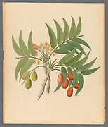 Decandria Mon. [Harpephyllum caffrum] (1817) from a collection of ' Drawings of plants collected at Cape Town ' by Clemenz Heinrich, Wehdemann, 1762-1835 Collected and drawn in the Cape Colony, South Africa
