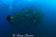 Howard Hall films spawning aggregation dog snappers, <br /> Lutjanus jocu, Gladden Spit & Silk Cayes Marine Reserve, <br /> off Placencia, Belize, Central America ( Caribbean )