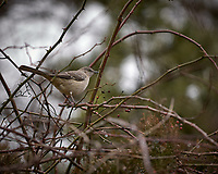 Northern Mockingbird. Backyard Winter Nature in New Jersey. Image taken with a Nikon D2xs camera and 70-200 mm f/2.8 lens (ISO 400, 200 mm, f/2.8, 1/1000 sec).