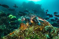 Marine Iguana Feeding©KipEvansMissionBlue