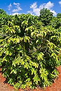 Coffee trees at the Kauai Coffee Company, Island of Kauai, Hawaii