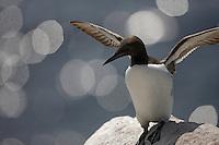 Guillemot (Uria lomvia) Saltee Islands Ireland