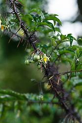 Paarse nachtschade, Solanum atropurpureum