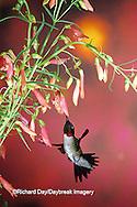 01162-05410 Ruby-throated Hummingbird (Archilochus colubris) male on Penstemon (Penstemon barbatus) Shelby Co.  IL