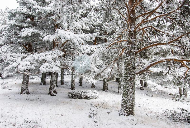 Pino silvestre (Pinus sylvestris).Parque Natural de las lagunas de Neila.Sierra de la Demanda.Burgos ©Antonio Real Hurtado / PILAR REVILLA