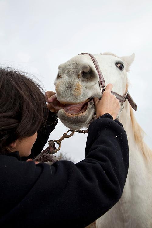 Veterinarian excamening a horse (Eqqus Caballus), Auvergne, France