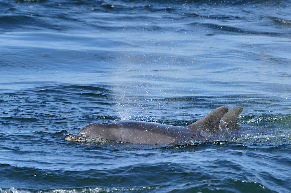 Adult Bottle-nosed Dolphin surfacing,<br /> Tursiops truncatus,<br /> Moray Firth, Nr Inverness, Scotland - May