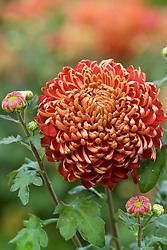 Chrysanthemum 'Hedley'