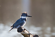 01186-00917 Belted Kingfisher (Ceryle alcyon) male shaking off water at wetland, Marion Co., IL