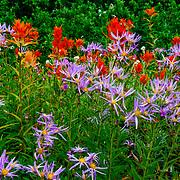 Wild flowers in the Rainier National Park.