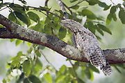 Great Potoo (Day time Roost)<br />Nyctibius grandis<br />Cerrado Habitat. BRAZIL.  South America<br />Range; Mexico to Bolivia, Paraguay and se Brazil