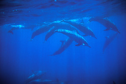 Spinner Dolphin Underwater