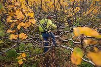 Female hiker finds passage through branches of autumn birch tree, Lofoten Islands, Norway