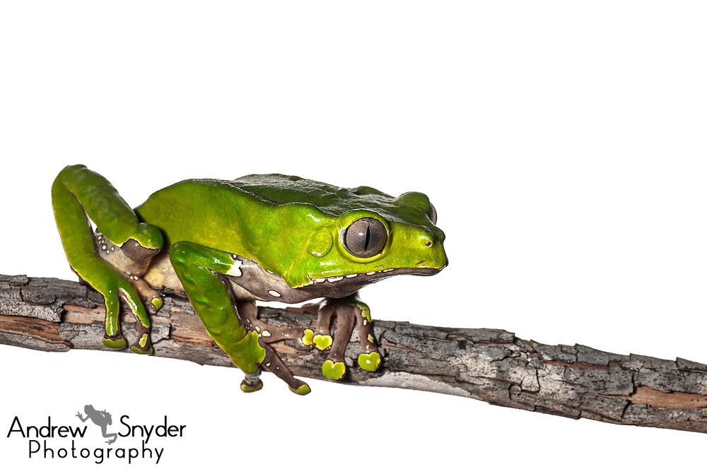 Giant waxy monkey treefrog, Phyllomedusa bicolor, Iwokrama, Guyana, July 2013
