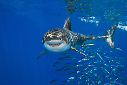 great white shark, Carcharodon carcharias, with schooling mackerel scad, Decapterus macarellus, Guadalupe Island, Mexico, Pacific Ocean