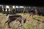 Slaughtering season, Gåbrien Sijte, Brekken in Mid-Norway. Lassoing a reindeer bull is hard work and they give the herders a big fight.