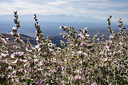The Inyo Mountains are seen beyond pink roadside flowers on Onion Valley Road, above Independence, California, USA.