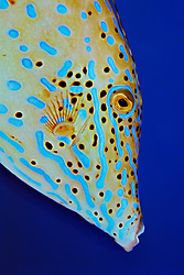 Scrawled Filefish, Aluterus scriptus, off Key Largo, Florida Keys National Marine Sanctuary, Atlantic Ocean.