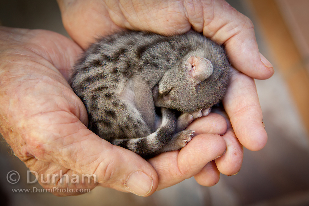 A very young small-spotted genet (Genetta genetta) rescued from a driveway and delivered to the Chipangali Wildlife Orphanage near Bulawayo, Zimbabwe. The hands belong to Vivian Wilson, a noted field biologist who has worked in Africa for fifty years. © Michael Durham / www.durmphoto.com