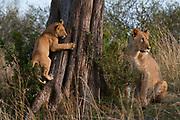 Lion (Panthera leo), Masai Mara, Kenya.