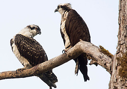 September 1, 2017 - Roseburg, OREGON, U.S - A pair of osprey perch on a dead tree overlooking the Umpqua River near Elkton in rural southwestern Oregon. Osprey, also called fish eagles, sea hawks, river hawks, and fish hawks,  are considered to have a cosmopolitan distribution. Their range extends across all or most of the world in appropriate habitats. (Credit Image: © Robin Loznak via ZUMA Wire)