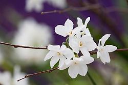 Narcissus 'Paper White'