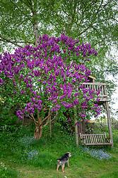 Syringa vulgaris - Lilac - and treehouse