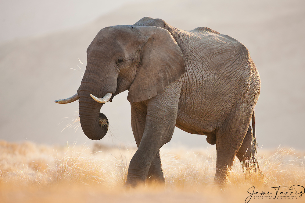 A desert-adapted elephant (Loxodonta africana) stands backlit in morning light while grazing ,Skeleton Coast, Namibia, Africa
