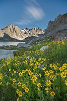 Field of Narrowleaf Arnica (Arnica angustifolia) Titcomb Basin, Bridger Wilderness, Wind River Range Wyoming