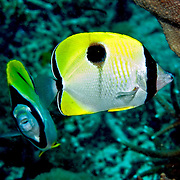 Teardrop Butterflyfish inhabit reefs. Picture taken Lembeh Straits, Sulawesi, Indonesia.