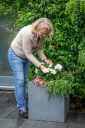 Deadheading begonias in a pot on the patio