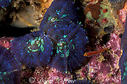 corallimorph or false coral, Discosoma sp.,<br /> Gato Island Marine Reserve, <br /> off Cebu Island, Philippines<br /> ( Visayan Sea / Western Pacific Ocean )